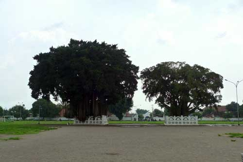 Crossing between the Banyan Tree Myth at Yogyakarta