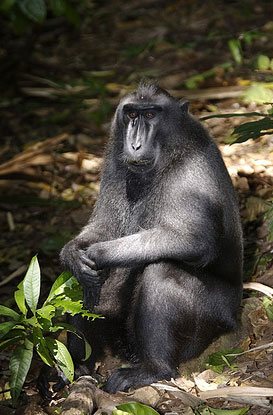 Black Crested Macaque at Tangkoko Reserve, Sulawesi, Indonesia