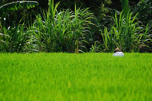 Farmer working at rice field, Ubud, Bali