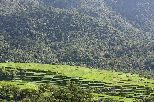 Paddy Fields in Flores