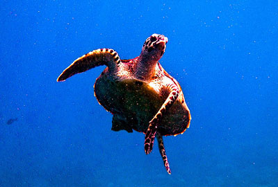 Hawkbill Turtle, Diving, Indonesia