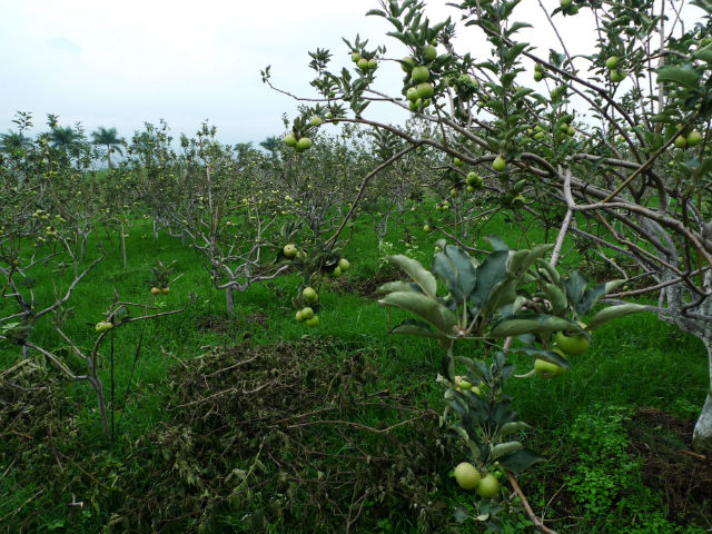 Malang Kebun Apple Farm at Batu, Indonesia