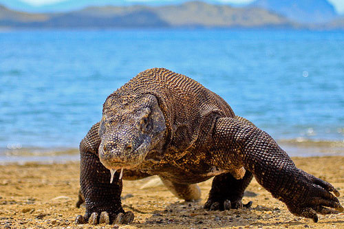 Komodo Dragon walking di pantai