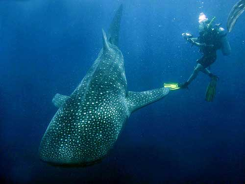 Whale Shark Diving at Papua Indonesia