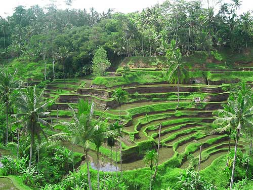 Rice fields terraces, Tegalalang, Ubud, Bali