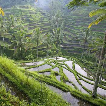Rice Paddy Fields, Bali