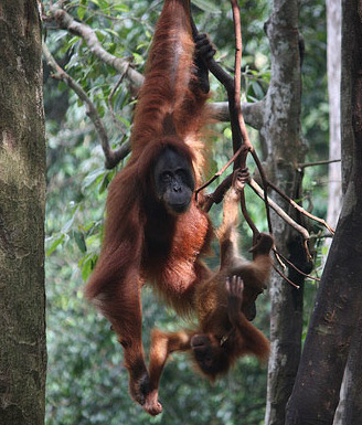 Orang Utan Sanctuary at Bukit Lawang, Sumatra, Indonesia