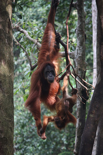 Mother and Baby Orangutan @ Bukit Lawang