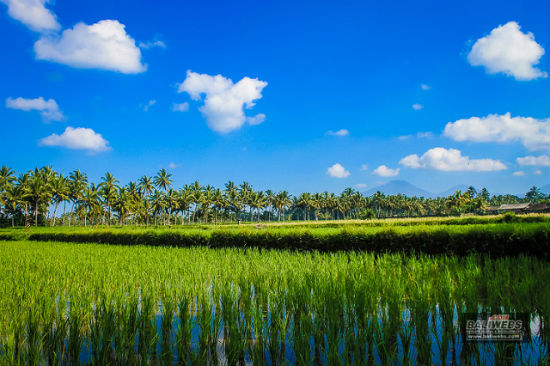 Rice fields at Tabanan village, Bali, Indonesia