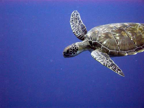 Turtle in diving at Bunaken Island in Indonesia